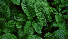 Chemistry experiments show potential of spinach to power fuel cells